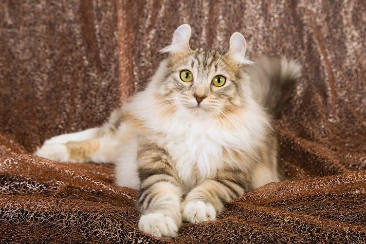 Getting To Know The American Curl