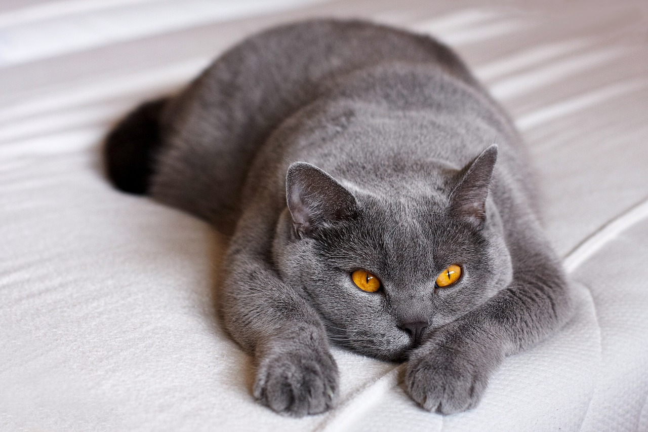 An Introduction to British Shorthairs