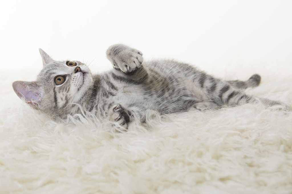 An Introduction to American Shorthairs