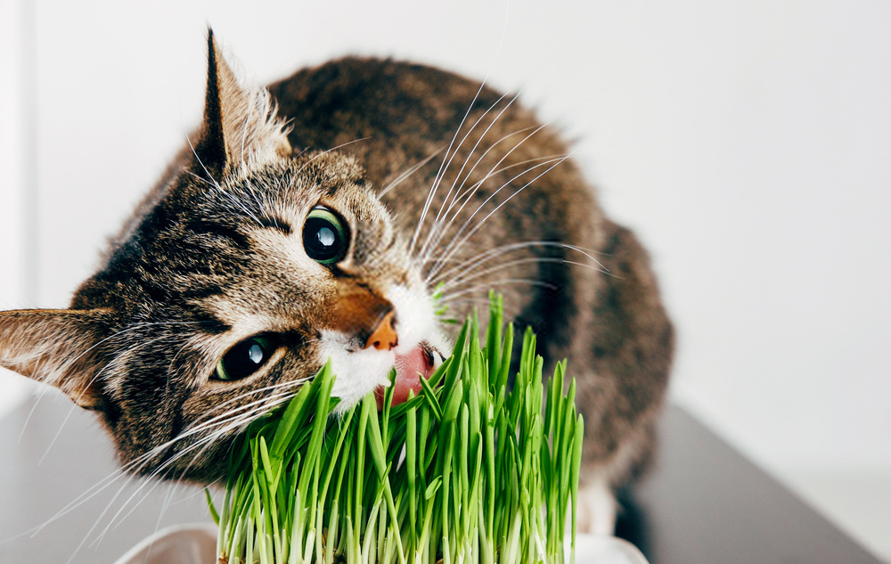 Why Do Cats Enjoy Cat Grass