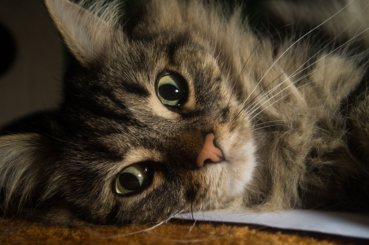Everything You Need To Know About The Norwegian Forest Cat