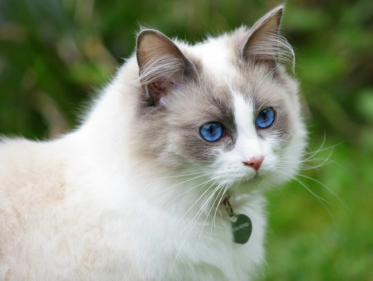 Getting To Know The Ragdoll Cat