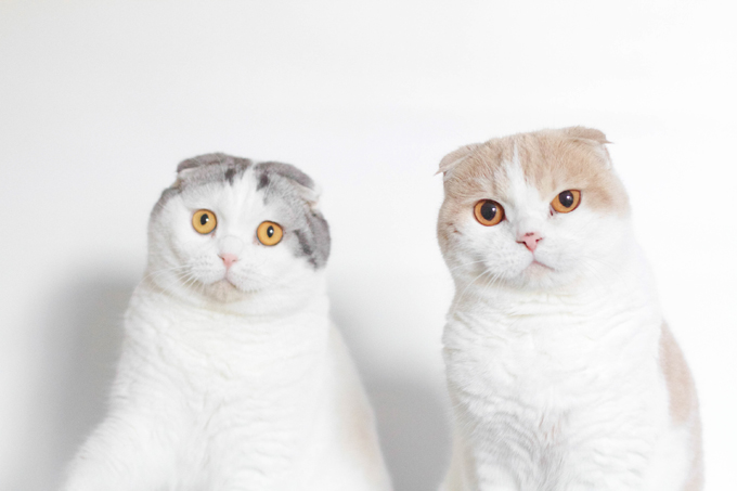 lop-eared cats